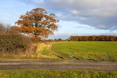Oak tree in autumn Royalty Free Stock Photos