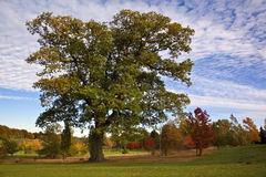 Oak Tree and Autumn colors Stock Photo