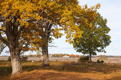 Oak tree in autumn colors Stock Photography