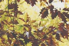 Oak tree. Autumn. Fall scene. Beauty nature scene trees and leav Royalty Free Stock Photo