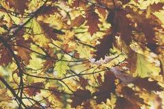 Oak tree. Autumn. Fall scene. Beauty nature scene trees and leav Royalty Free Stock Images