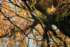 Oak Tree with autumn leaves Royalty Free Stock Image