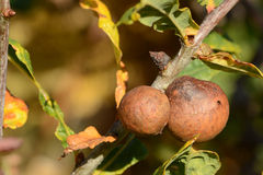 Oak tree in autumn with oak gall Royalty Free Stock Images
