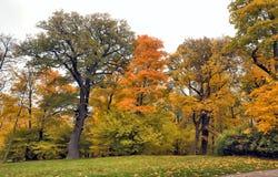 Oak tree in Autumn Royalty Free Stock Image