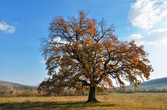 Oak tree in autumn season Stock Photos