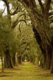 Oak Tree Avenue Stock Images