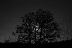 Oak tree backlit in Loenermark Stock Photo