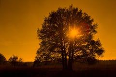 Oak tree backlit in Loenermark Royalty Free Stock Photo