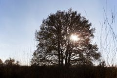 Oak tree backlit in Loenermark Royalty Free Stock Photo