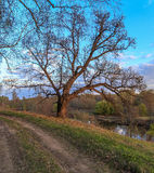 Oak tree on the bank of the river. Spring landscape Stock Photography