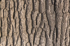 Oak tree bark Royalty Free Stock Photography