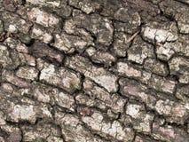 Oak tree bark. Background of dry oak tree bark Royalty Free Stock Photo