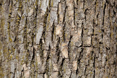 Oak tree bark background Royalty Free Stock Images