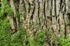 Oak tree bark background Stock Image