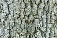 Oak tree bark Stock Images