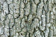 Oak tree bark Stock Images