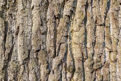 Oak tree bark in close-up. Oak tree bark close-up in park Duivenvoorde in Voorschoten, Netherlands Royalty Free Stock Photos