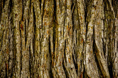 Oak tree bark Stock Image