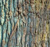 Oak Tree Bark With Many Cracks Stock Photo