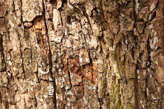 Oak tree bark Royalty Free Stock Photo