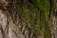Oak tree bark. Moss covered Oak tree bark texture closeup colors Royalty Free Stock Photos