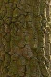 Oak tree bark. Royalty Free Stock Photos