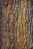 Oak tree bark Royalty Free Stock Images