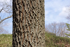 Oak tree bark. Picture of the beautiful Bark of Oak tree bark Stock Images