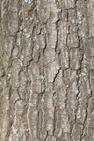 Oak tree bark texture Royalty Free Stock Image