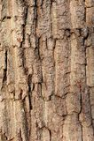 Oak tree bark texture background Royalty Free Stock Photography
