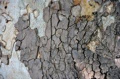 Oak tree bark Royalty Free Stock Image