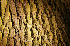 Oak tree bark texture. Close-up of the gnarly bark of an old oak tree in sunlight Stock Images