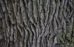 Oak tree bark, texture. Detail of oak tree bark Royalty Free Stock Photography