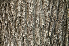 Oak tree bark texture Stock Image