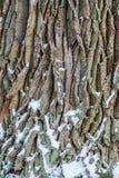 Oak tree bark Royalty Free Stock Images