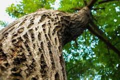 Oak tree Royalty Free Stock Photo