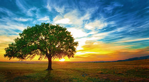 Oak tree. In a beautiful sunset Macin Mountains stock images