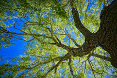 Oak Tree. From below made in HDR stock photo