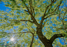 Oak Tree. From below made in HDR Royalty Free Stock Photography