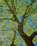 Oak Tree. From below made in HDR Royalty Free Stock Photo