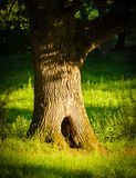 Oak tree with big hole in green grass Stock Photos
