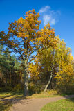 Oak tree and birch in autumn. Royalty Free Stock Images