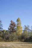 Oak tree and birch tree in autumn colors Royalty Free Stock Photos