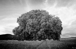 Oak tree in black and white Stock Image