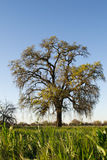 Oak tree blossoming Royalty Free Stock Photography