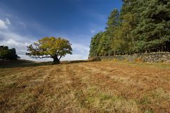 Oak Tree and Bracken. Autumn Oak tree on a bracken covered hillside against a blue sky. Leicestershire countryside in the fall Royalty Free Stock Images