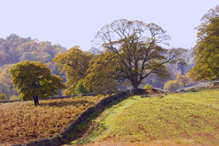 Oak Tree and Bracken. Autumn  tree son a bracken covered hillside with a stone wall leading to horzion. Leicestershire countryside in the fall Royalty Free Stock Photography