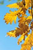 Oak tree branch Royalty Free Stock Photos