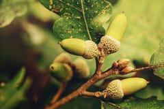 Oak tree branch acorn nut as beautiful autumn season background Royalty Free Stock Image
