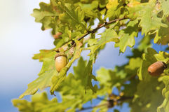 Oak tree branch with acorns Stock Image